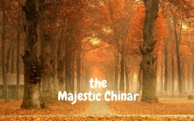 All You Need to Know About the Majestic Chinar Tree
