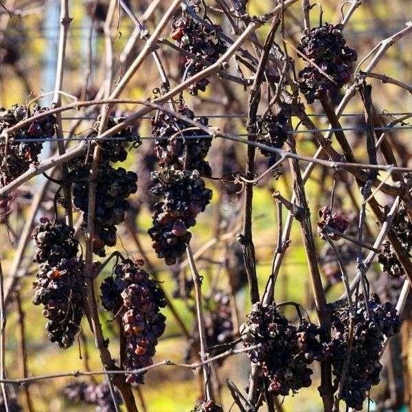 Black Raisins 1