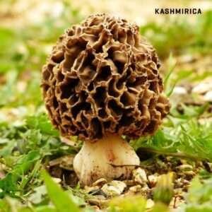 Buy Morel Mushroom
