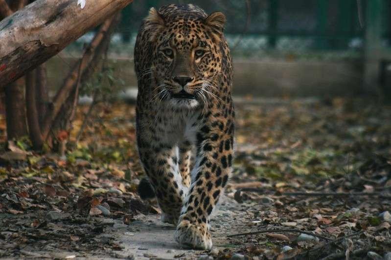 Leopard in Kashmir